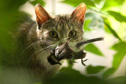 Un gato con un pájaro en la boca.